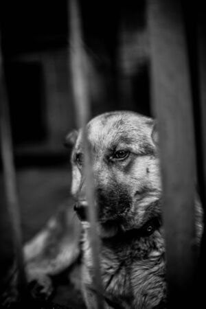 A big sad shepherd in an old aviary. Monochrome photo Фото со стока