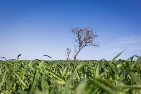 Lonely green tree in the middle of a field. Stock Photo