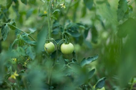Unripe green tomatoes in a rural garden.