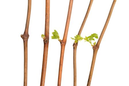 The process of growing grapes saplings from the vine.  The process of growing grapes from the vine, from bud to leaf