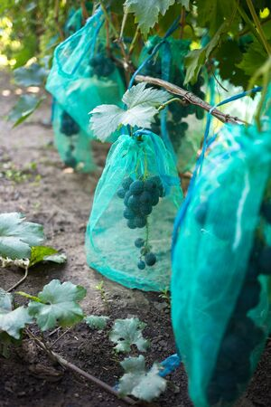 Protected ripe grapes with fine mesh bags hanging on branches.