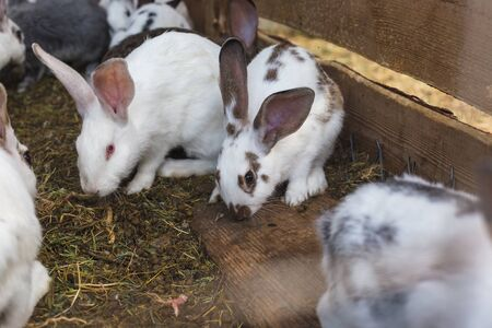 Breeding a large group of rabbits in a small shed . Stok Fotoğraf