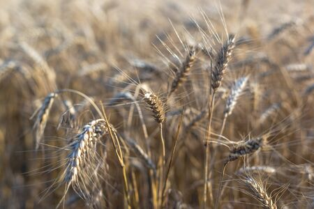 Wheat on the field. Plant, nature, rye. Rural summer field landscape. 写真素材