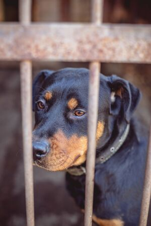 Rottweiler in an old aviary. Toned, style photo.