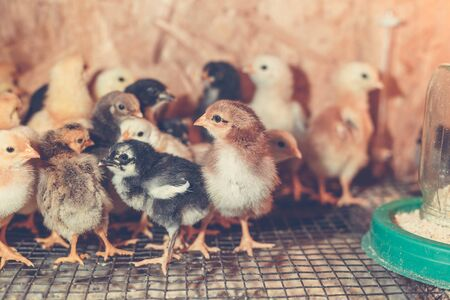 Little chickens in a brooder on the farm. Stockfoto