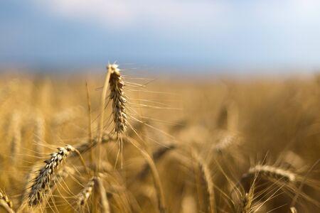 Wheat on the field. Plant, nature, rye. Rural summer field landscape. Stockfoto