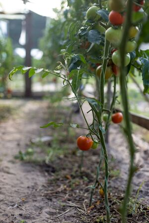 Growing tomatoes in a greenhouse.