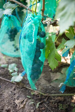 Protected ripe grapes with fine mesh bags hanging on branches. Stockfoto