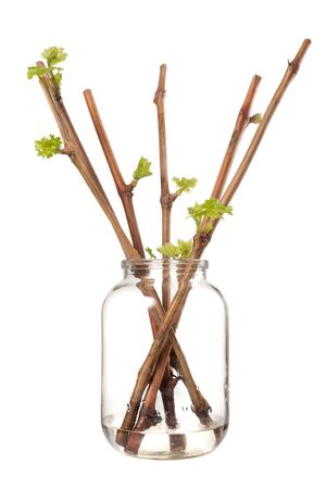 The process of growing grapes saplings from the vine. Germinated vine grapes in a glass jar on a white background Stock Photo