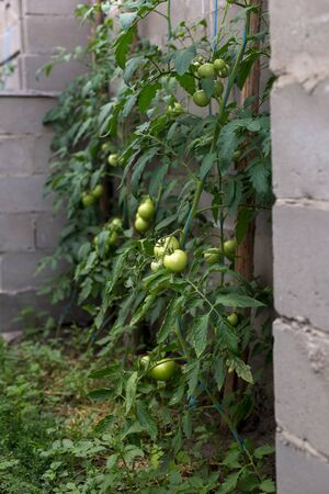 Unripe green tomatoes in a rural greenhouse.