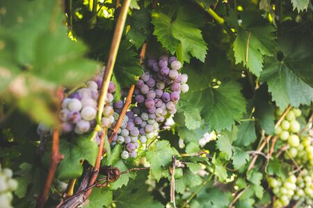 Bunch of ripe grapes on a vine .