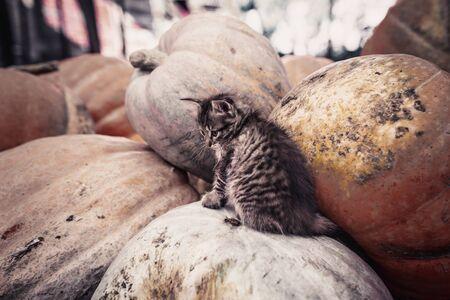 Cute gray kitten sitting on a pile of pumpkins. Stockfoto