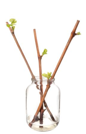 The process of growing grapes saplings from the vine. Germinated vine grapes in a glass jar on a white background Stockfoto