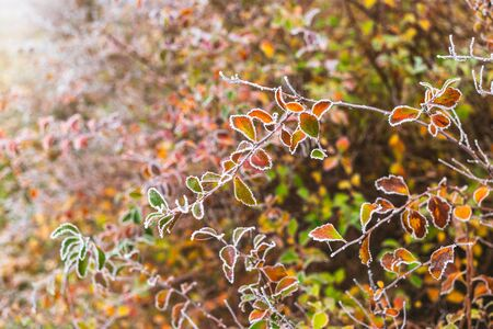 Leaves covered with hoarfrost in autumn. Stockfoto