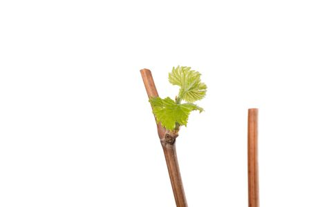 The process of growing grapes saplings from the vine. Vine on white background.