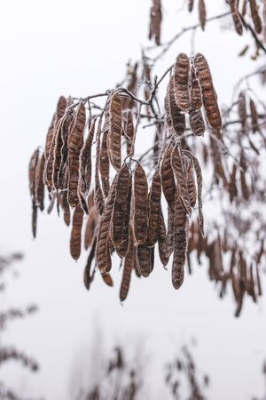 Acacia seeds covered with frost on a branch. Stockfoto