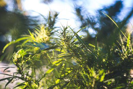 A cannabis plant, a marijuana bush in the countryside.