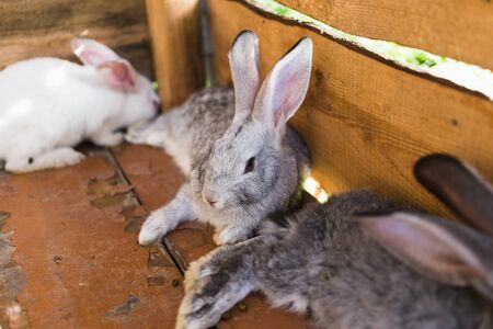 Breeding a large group of rabbits in a small shed Stockfoto