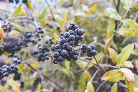 Poisonous black berries called  ligustrum vulgare covered with hoarfrost.