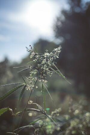 大麻的分支和大麻在日落。大麻,大麻美丽的树