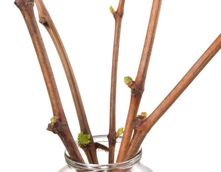 The process of growing grapes saplings from the vine. Germinated vine grapes in a glass jar on a white background