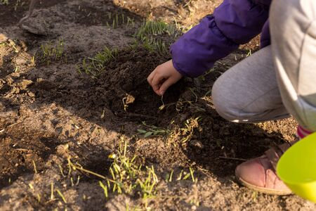 The process of planting germinated corn kernels. Little cute girl is planting corn