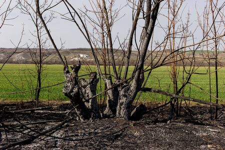 Scorched territory in the foreground and a green field in the background. Consequences of careless handling of fire. The result of human contact with nature.