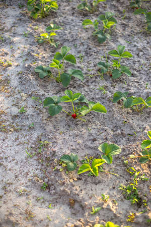 Rows of strawberries in the home garden in sandy soil at sunset