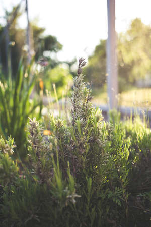 Photo of a young rosemary in a garden at sunset. Home gardening concept