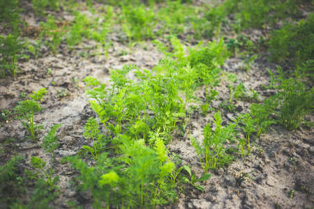 Young carrots in sandy soil. Home gardening concept. Stock fotó