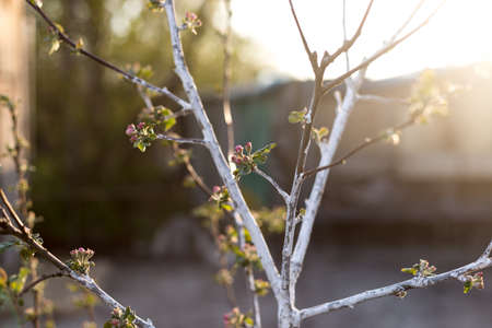 Blooming branch of a young apple tree on a sunset background