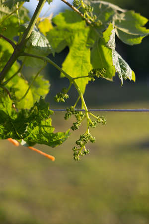 A bunch of young green unripe grapes on a sunset background.