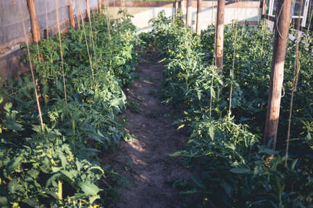 Homemade greenhouse with green unripe tomatoes. Home gardening concept
