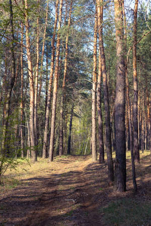 Country road in a pine forest. Spring coniferous forest in the morning. Stock fotó