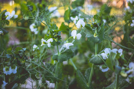 Unripe green peas in the garden. Flowering green peas. Growing peas in the countryside. Home gardening concept.