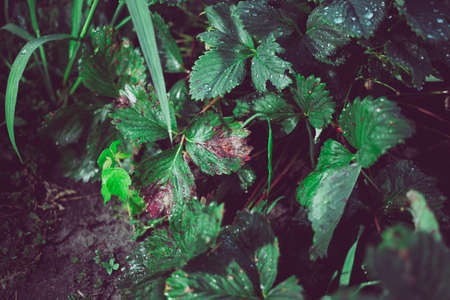 Infection of strawberry leaves with fungus. Strawberry disease - brown and red spots. Stock fotó