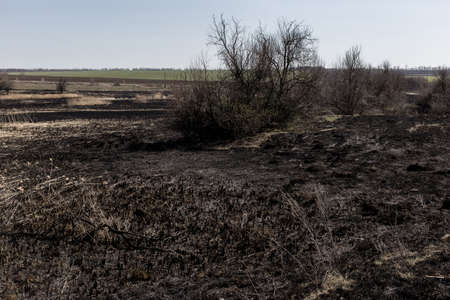 Scorched reed field. Consequences of careless handling of fire. The result of human contact with nature.
