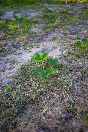 Strawberries mulching with grass in sandy soil at sunset.