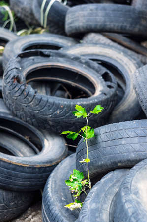 A young green tree makes its way through a bunch of old car tires. A bunch of old tires from used cars. Environmental pollution. Dump tires