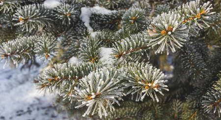 Beautiful spruce branch covered with hoar frost. Archivio Fotografico