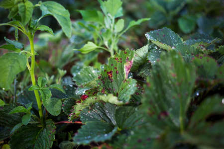 Infection of strawberry leaves with fungus. Strawberry disease - brown and red spots. Zdjęcie Seryjne