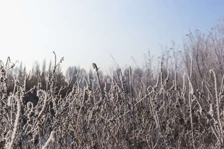 Beautiful landscape with dry grass covered with hoarfrost. Zdjęcie Seryjne