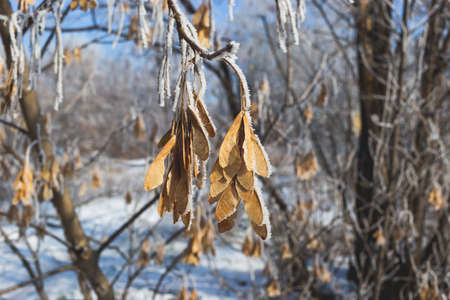 Seeds of maple covered with hoarfrost.