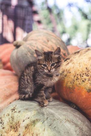 Cute gray kitten sitting on a pile of pumpkins. Standard-Bild