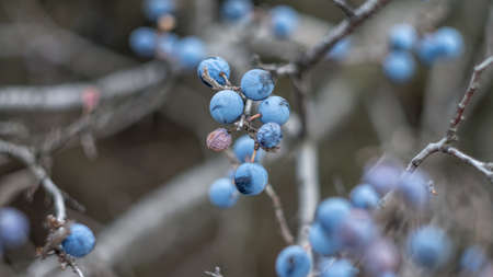 Blue berries of blackthorn on a bush in the autumn. Photo taken with an old Soviet lens.