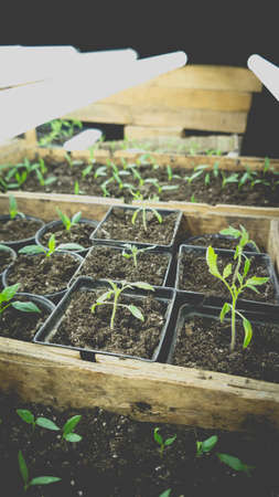 Growing seedlings in wooden and cardboard boxes under white LED lamps at home.
