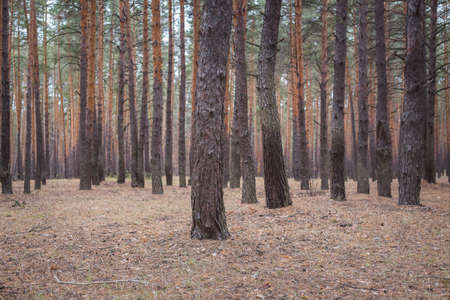 Trees in a pine forest in autumn.