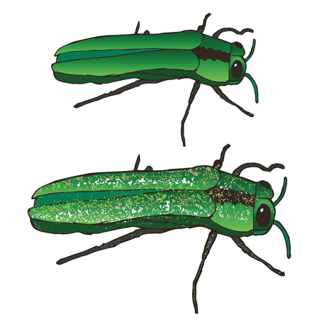 L'agrile du frêne: Manger et porter la mort à votre montagne frênes Depuis les années 90. Ces insectes mangent les feuilles, Burrow dans l'écorce, et critique Maim et détruire votre pauvre frênes. Vecteurs