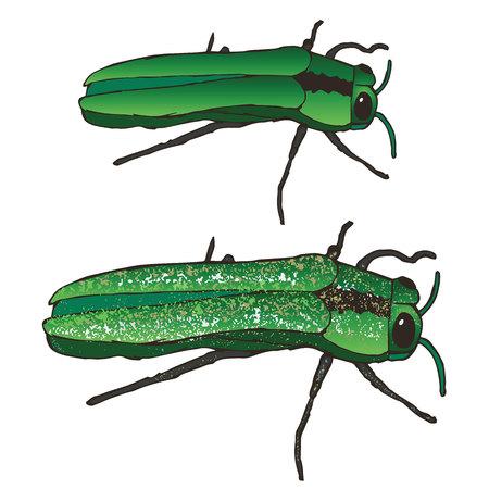 The Emerald Ash Borer: Eten en brengen Dood aan Uw Mountain Ash Bomen Sinds de jaren '90. Deze insecten Eat the Leaves, ingraven in de Bark, en kritisch te verminken en te vernietigen uw Poor essen.