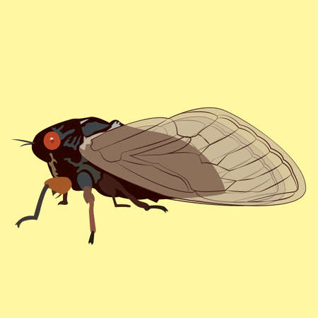 hibernate: Vector Image of a 17 Year Cicada that only Appears Every Seventeen years.  These Insects Hibernate for 17 Years.  What an Amazing World We Live In!  These Locusts Appear Scary but Will Not Harm You!